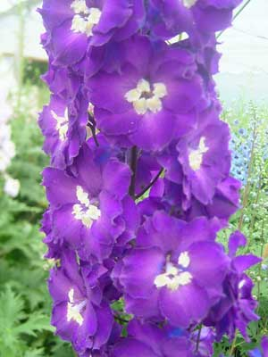 Delphinium 'Summerfield Oberon'
