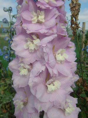 Delphinium 'Turkish Delight'