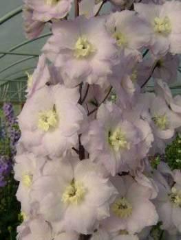 Delphinium 'Walton Gemstone' Seed