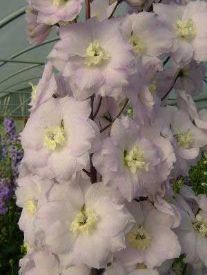 Delphinium 'Walton Gemstone'