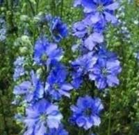Larkspur Sublime 'Azure Blue'
