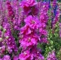 Larkspur Sublime 'Bright Carmine'