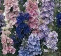 Larkspur Tall Hyacinth Flowered Mixed