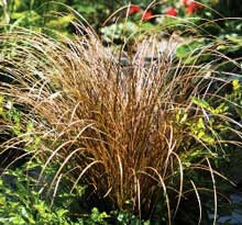 Carex flagellifera 'Auburn'