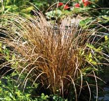 Carex Flageillifera Auburn