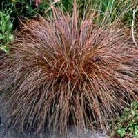 Carex comans 'Bronze Curls'