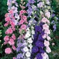 Larkspur Sublime 'Mixed'