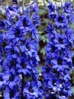 Delphinium 'Molly Buchanan'