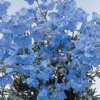 Delphinium 'Summer Blues' Seed