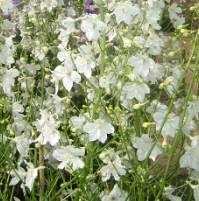 Delphinium belladonna 'Casablanca' Seed