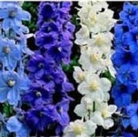 Delphinium Belladonna Mixed