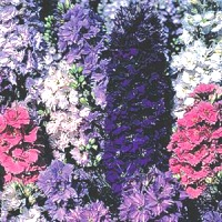 Larkspur 'Dwarf Hyacinth Mixed'