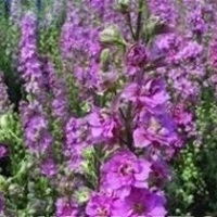 Larkspur Sublime 'Bright Pink'