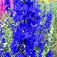 Larkspur Sublime 'Dark Blue'