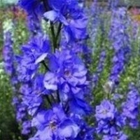 Larkspur Sublime 'Lilac'