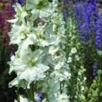 Larkspur Sublime 'White'