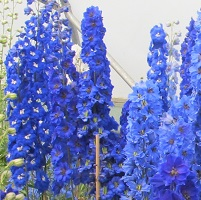 Delphinium elatum - Dark Blue Mixed Seed