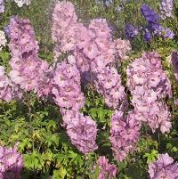 Delphinium elatum - Pink Mixed Seed