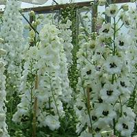 Delphinium elatum - White Mixed Seed