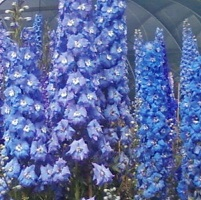 Delphinium elatum - Light Blue Mixed Seed