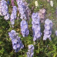 Delphinium elatum - Mauve Mixed Seed