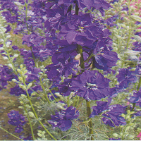 Larkspur Limelight 'Dark Blue'