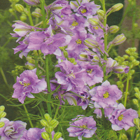 Larkspur Limelight 'Light Blue