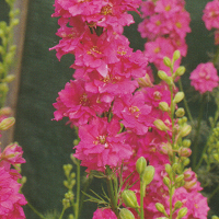 Larkspur Limelight 'Rose'