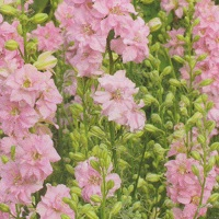 Larkspur Limelight 'Light Pink'