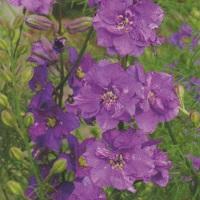 Larkspur Limelight 'Lilac'