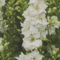 Larkspur Limelight 'White'