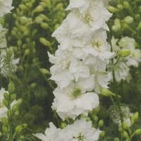 Larkspur Limelight 'White'