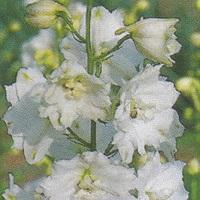 Galahad Seed