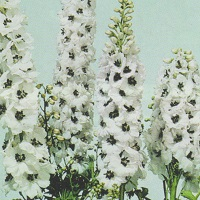 Delphinium Magic Fountain Seed