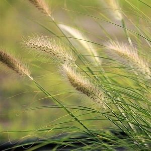 Ornamental Grass Seed