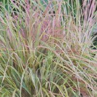 Stipa  arundinacea 'Pheasant Tails'