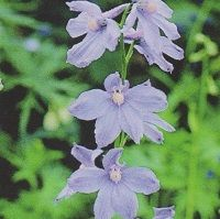 Delphinium belladonna 'Clivedon Beauty' Seed