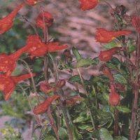 Delphinium nudicaule 'Red Cap' Seed