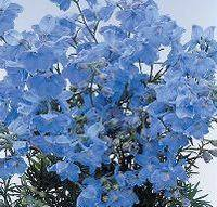 Selected Delphinium