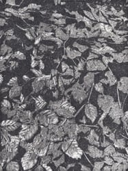 A two tone woodcut print of beech leaves, by Jane Duke