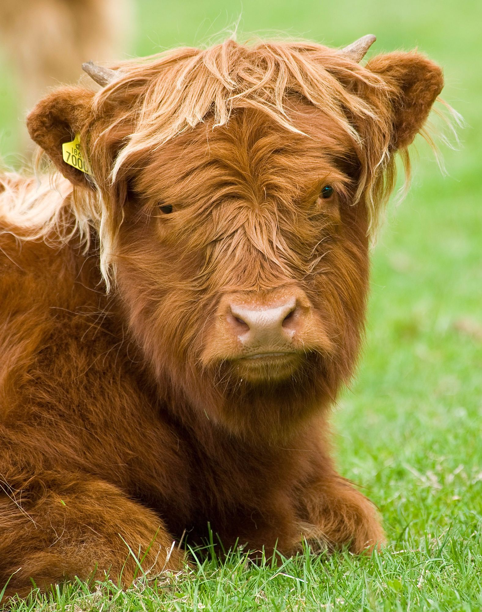 highland cattle forton highland cows uk