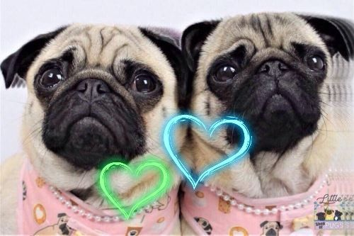 For The Pug