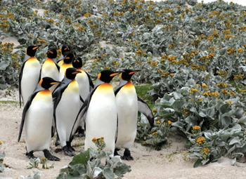 Committee tour - King Penguins greeting card