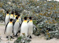 Committee walkabout - King Penguins on the Falkland Islands