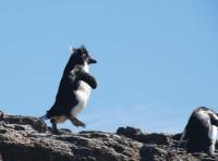 Must get there first! Rockhopper Penguin, Falkland Islands