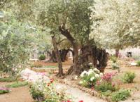 Old olive trees in the Gardens of Gethsemane, Jerusalem