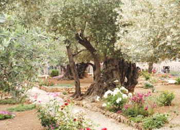 Old olive trees in the Gardens of Gethsemane, Jerusalem