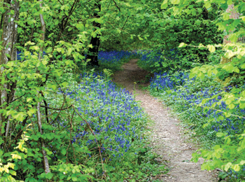 Bluebell path, Sussex