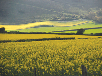Rapeseed near Firle, East Sussex