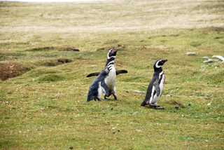Family Life, Magellanic Penguins on the Falkland Islands
